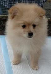Pomeranian Puppy For Sale in WARREN, MA