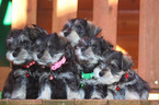 Schnauzer (Miniature) Puppy For Sale in ANNISTON, AL, USA
