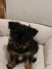 Chorkie Puppy For Sale in DIBBLE, OK, USA