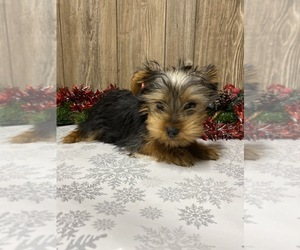 Yorkshire Terrier Puppy for sale in MYRTLE, MO, USA