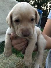 Labrador Retriever Puppy For Sale in RAPID CITY, SD, USA