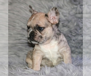 French Bulldog Puppy for Sale in N LAS VEGAS, Nevada USA