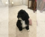 Puppy 3 Portuguese Water Dog
