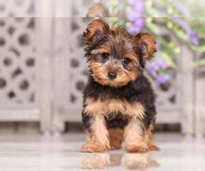 Yorkshire Terrier Dog for Adoption in MOUNT VERNON, Ohio USA