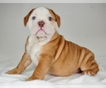 Small Photo #1 Bulldog Puppy For Sale in NAPPANEE, IN, USA