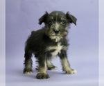 Puppy 9 Schnauzer (Miniature)