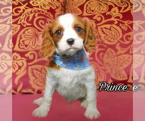 Cavalier King Charles Spaniel Dog for Adoption in MIAMI, Florida USA