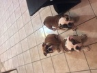 English Bulldog Puppy For Sale in OAKDALE, California,