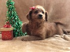 Small #3 Labradoodle-Poodle (Miniature) Mix