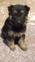 German Shepherd Dog Puppy for sale in BRISTOL, IN, USA