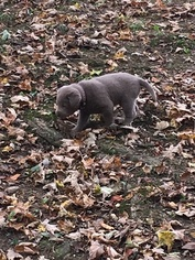 Labrador Retriever Puppy For Sale in MANTUA, OH, USA