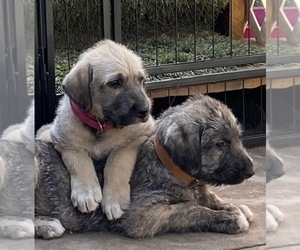 Irish Wolfhound Puppy for sale in PLACERVILLE, CA, USA