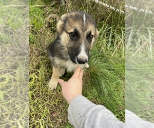 German Shepherd Dog Puppy for sale in MARYSVILLE, WA, USA