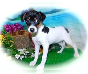 Medium Jack-Rat Terrier