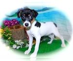 Small Jack-Rat Terrier