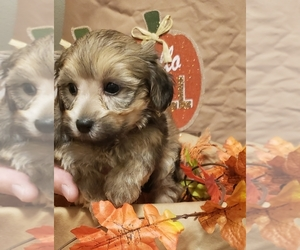 Poodle (Toy)-Yorkshire Terrier Mix Puppy for sale in FLOYDS KNOBS, IN, USA
