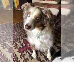 Australian Shepherd Dog for Adoption in SPARTANBURG, South Carolina USA