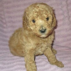 Goldendoodle Puppy For Sale in LINCOLN, AL, USA