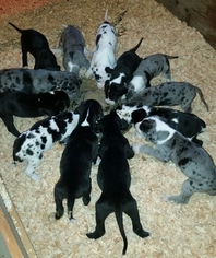 Great Dane Puppy For Sale in RENO, NV