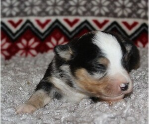 Miniature Australian Shepherd Puppy for Sale in MARION CENTER, Pennsylvania USA