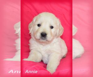Golden Retriever Puppy for sale in GOSHEN, OH, USA
