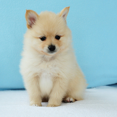 Pomeranian Puppy For Sale in FRAZER, PA, USA