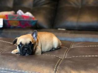 French Bulldog Puppy for sale in TAZEWELL, VA, USA
