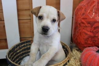 Ba-Shar Puppy For Sale in MURRIETA, CA