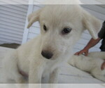 Small #5 Great Pyrenees