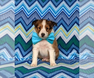 Shetland Sheepdog Puppy for sale in CHRISTIANA, PA, USA