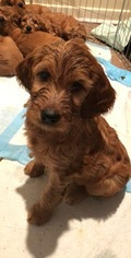 Irish Doodle Puppy For Sale in JOHNSON CITY, TN, USA