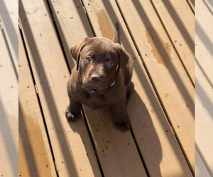 Labrador Retriever Puppy for sale in FREMONT, CA, USA