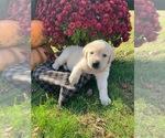Puppy 3 Golden Labrador