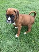 Boxer Puppy For Sale in PLEASANT HILL, Illinois,