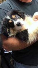 Australian Shepherd Puppy For Sale in LAKE CITY, FL, USA