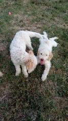 Lagotto Romagnolo Puppy for sale in ELK GROVE VILLAGE, IL, USA