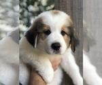 Puppy 1 Great Bernese