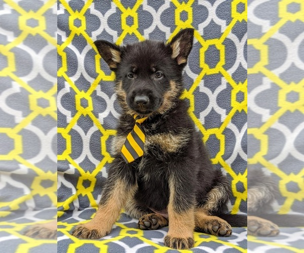 Medium Photo #6 German Shepherd Dog Puppy For Sale in NEW PROVIDENCE, PA, USA