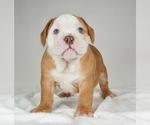 Small Photo #5 Bulldog Puppy For Sale in NAPPANEE, IN, USA