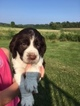 English Springer Spaniel Puppy For Sale in LONSDALE, MN, USA