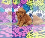 Small #2 Cavachon-Poodle (Toy) Mix