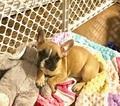 French Bulldog Puppy For Sale in MENOMONEE FALLS, WI