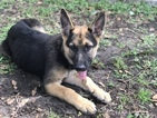 German Shepherd Dog Puppy For Sale in DELAND, FL, USA