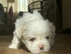Shih Tzu Puppy For Sale in UPLAND, CA, USA