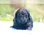 Small #34 Poodle (Standard)