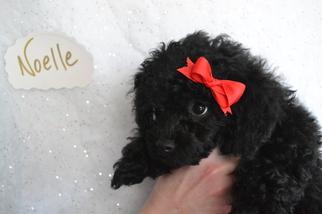 Poodle (Toy) Puppy For Sale near 66521, Onaga, KS, USA