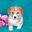 Pembroke Welsh Corgi Puppy For Sale in GAP, PA, USA