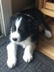 Australian Shepherd Puppy For Sale in LAKE ZURICH, IL
