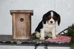 Cavalier King Charles Spaniel Puppy For Sale in FREDERICKSBURG, OH,