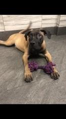 Bullmastiff Dog for Adoption in HARTSDALE, New York USA